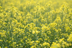 about_canola_t (1)