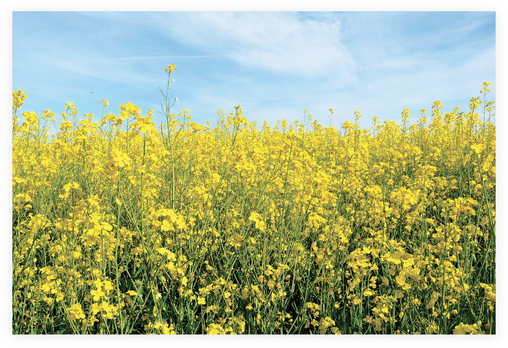 What Is Canola Manitoba Canola Growers